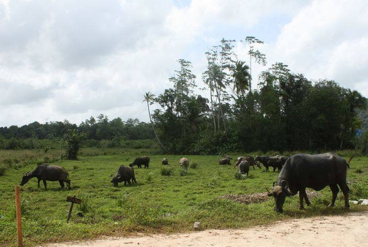 Buffaloes grazing on grassy field against sky
