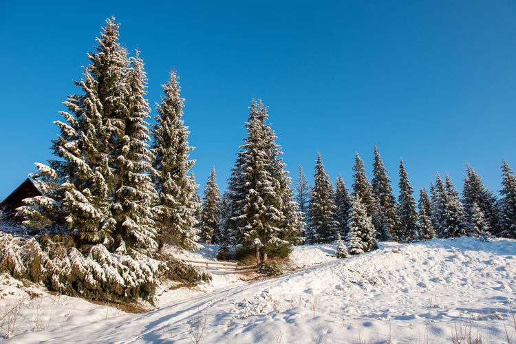 Pine trees on snowcapped field against clear blue sky