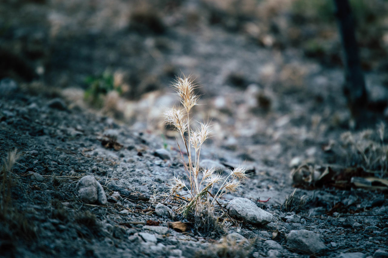 CLOSE-UP OF DEAD PLANT ON FIELD