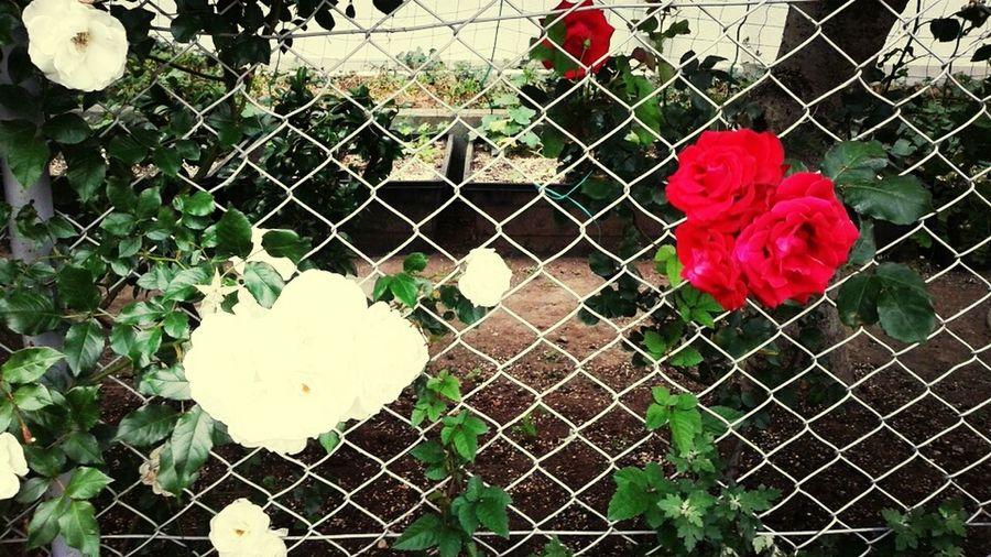 Flower Photo School White & Red