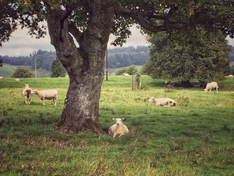 Sheep under tree Tree Grass Field Tree Trunk Green Color Day Tranquility Tranquil Scene At Rest Lying Down