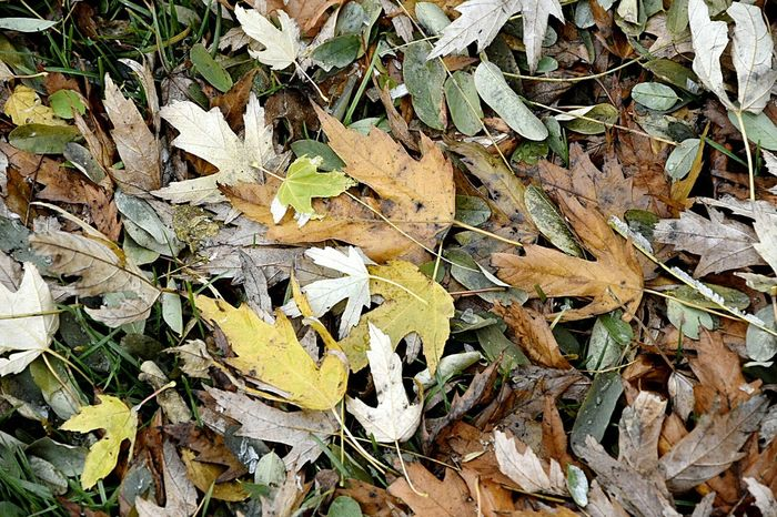 Beautifully Organized Chaos Chaos Leaf Nature No People Backgrounds Outdoors Beauty In Nature Fall Beauty Fall Fall Leaves Fall Fallen Leaf Fall Fallen Leaves Fall Before Winter Winter Many Leaves Le  Detail Detail Details Of Nature