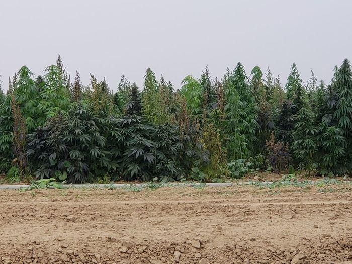 HEMP Tree Pine