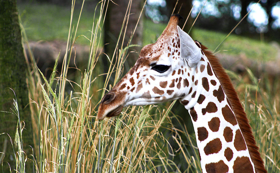Jr. Animal Themes Wildlife Nature Animal Photography Giraffe Giraffes Close-up One Animal Grass Tall Grass Wildlife Photography Animal Animals Animals In The Wild Profile Tall Young Giraffe