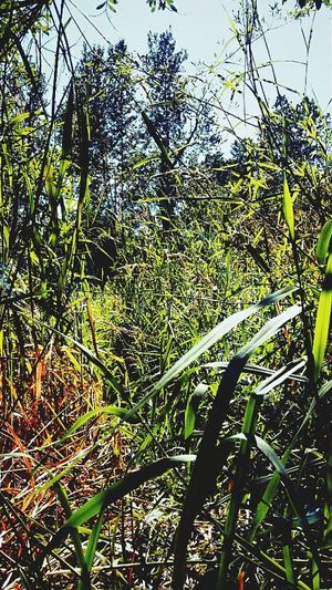 Growth Nature Tree Beauty In Nature No People Green Color Plant Low Angle View Outdoors Day Tranquility The Week On Eyem BestofEyeEm Grass Blades Grass Area Nature Unconditional The Weekend On EyeEm Urban Skyline Outsider Art Backgrounds Sky Bamboo Grove