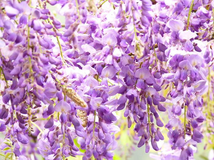 Flower Flowering Plant Vulnerability  Fragility Purple Beauty In Nature Plant Freshness Wisteria Close-up Vine Growth No People Lavender Full Frame Nature Springtime Day Lavender Colored Blossom Outdoors Lilac Flower Head Aleq