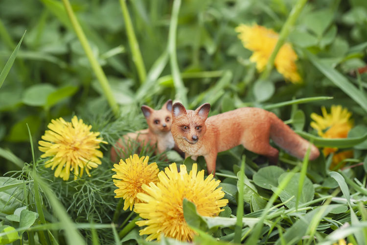 Miniature fox toys for mom and baby in blooming dandelions in spring, natural landscape Plant Flowering Plant Nature Day Growth Green Color Flower No People Animal Grass Portrait Flower Head Miniature Wild Fox Toy Mom Baby Blooming Dandelion Spring Easter Yellow Small Love