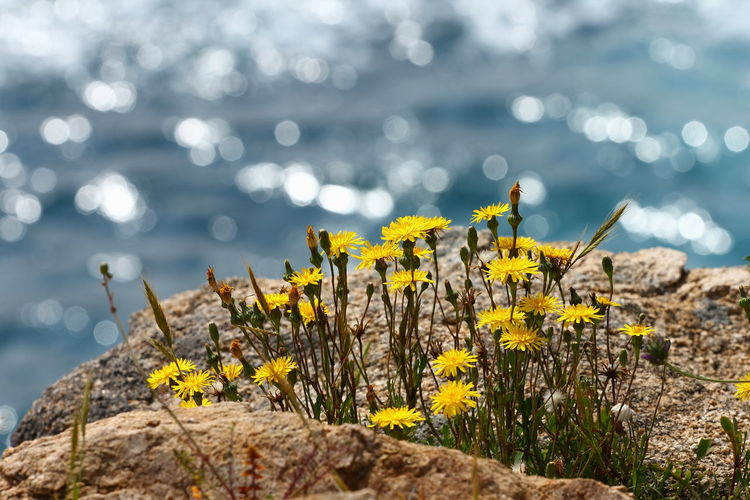 Close-up of yellow flowering plant by rock against sea