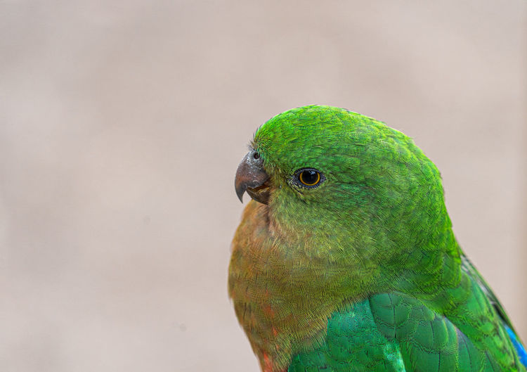 Close-up of a parrot head