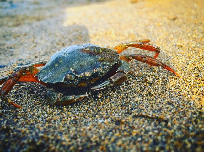 Animal Themes Animal Wildlife Animals In The Wild Beach Crab Crustacean Hermit Crab No People One Animal Sand Sea Life