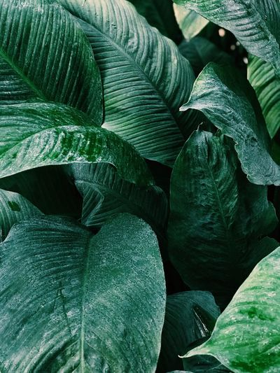 Green Color Backgrounds No People Close-up Abundance Day Nature Growth Plant Leaf Plant Part Freshness Still Life Pattern