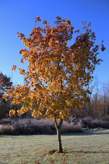 first frost and this colorful tree was standing out beautifully this morning First Frost Autumn Beauty In Nature Color In Nature Leaf Nature No People Outdoors Tranquility Tree