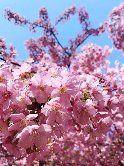 桜 河津桜 Sakura