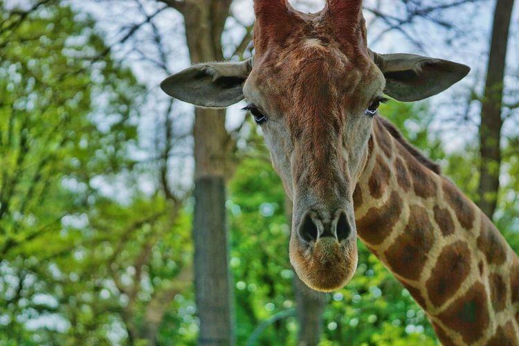 Bored Giraffe