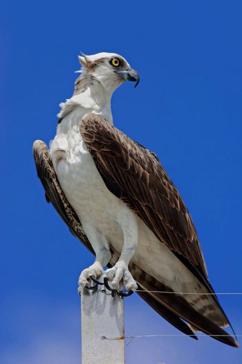 Osprey (Naples, Florida) 🇺🇸 Animal Animal Themes Animal Wildlife Animals In The Wild Bird Bird Of Prey Blue Clear Sky Close-up Day Full Length Low Angle View Nature No People One Animal Osprey  Outdoors Perching Sky Sunny Vertebrate