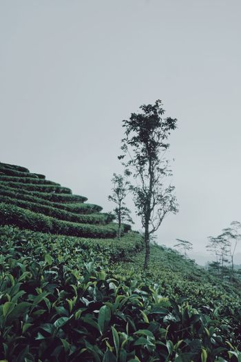 Plant Growth Sky Field Nature Green Color Tree Leaf Scenics - Nature Landscape Copy Space Tranquil Scene Day Agriculture Beauty In Nature Tranquility Crop  Land Clear Sky No People