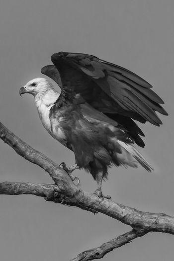 ready for take off...Africa South Luangwa Bnw_friday_eyeemchallenge Bird Eagle B&w Birds Magestic Magestic Bird Fish Eagle African Fish Eagle haliaeetus vocifer Animals Bird Photography Birds