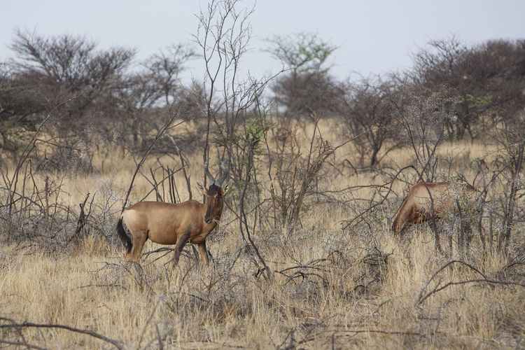 Africa Namibia Etosha National Park Landscape Sunset Sunrise Animal Themes Animals In The Wild Bare Tree Black Rhinoceros Day Domestic Animals Dried Plant Field Grass Mammal Nature No People One Animal Outdoors Red Hartebeest Rhino Sky Tree