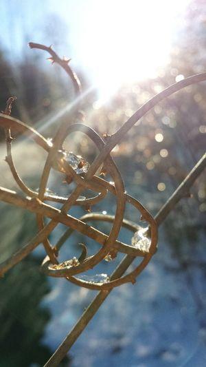 Winter Vines FrozenDrops Sunshine Sunlight