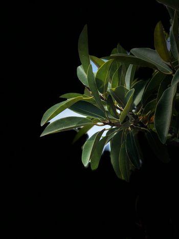 Leaf Plant Black Background Close-up Outdoors Nature