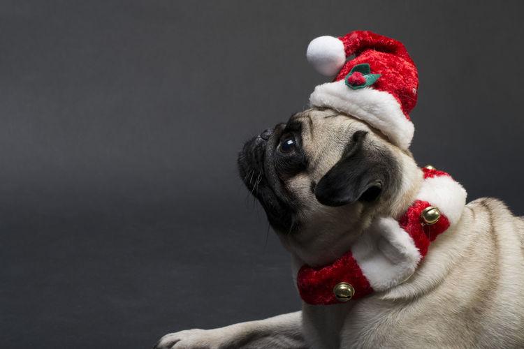 I know christmas is still far away, but.... Christmas Pug Animal Themes Dog Domestic Animals No People One Animal Pet Clothing Pets Red Santa Hat Studio Shot