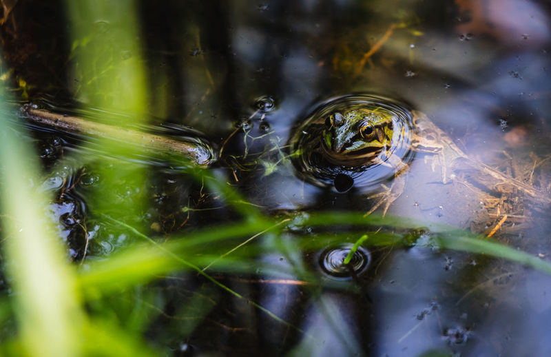 Amphibian Animal Animal Themes Animal Wildlife Animals In The Wild Beauty In Nature Close-up Day Floating On Water Frog Lake Nature No People One Animal Outdoors Plant Reflection Selective Focus Vertebrate Water
