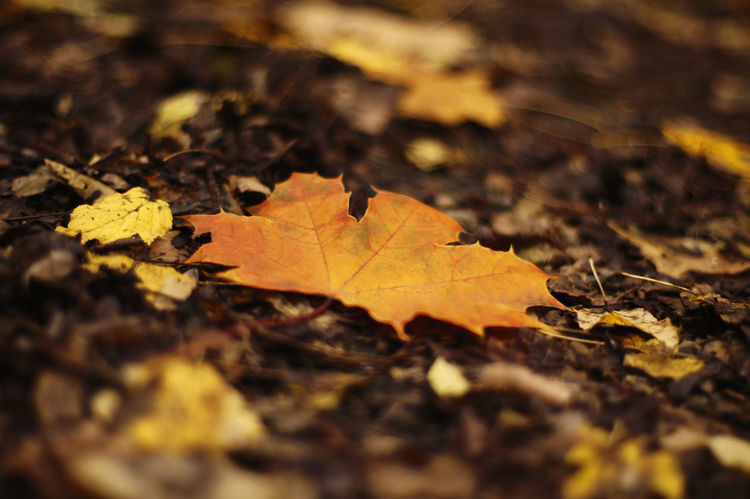 Autumn Leaf Autumn Background Beauty In Nature Blurry Change Close Up Close-up Covering Day Defocused Dry Ground Leaf Maple Maple Leaf Nature New No People Oringe Outdoors Photo Photocats  Selective Focus Soft Trendy