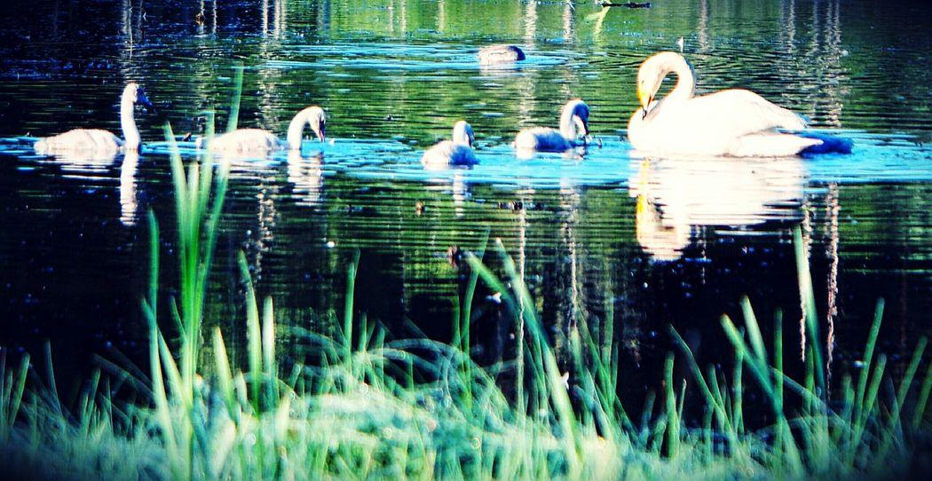 Beauty In Nature Close-up Bird Swans Nature Littoisten Järvi