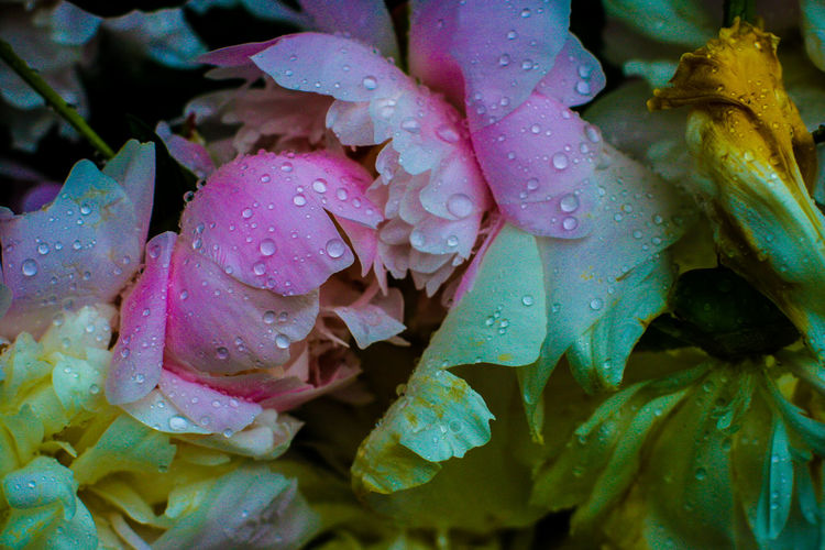 Close-up of water drops on pink rose