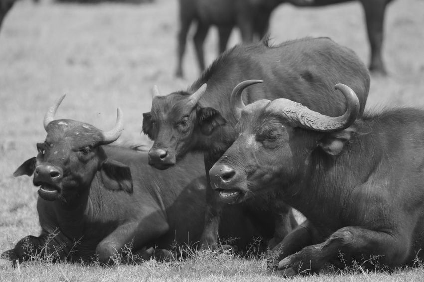 African buffalos Animal Themes Cow Day Domestic Animals Field Focus On Foreground Grass Mammal Nature No People Outdoors Relaxation