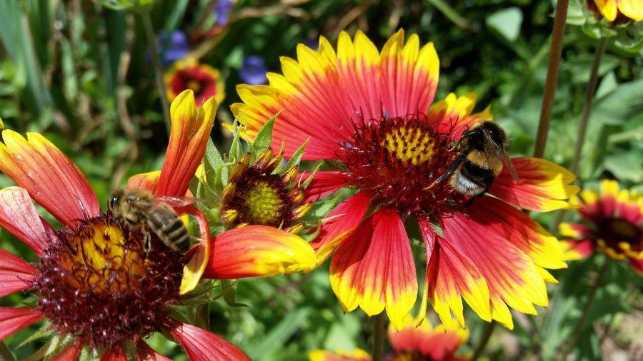Bien Biene Hummel Two Bee Zwei Biene Blumen Tiere Kleine Tiere Schön Summen Flower Red Yellow Necktar Blüte Koppe In My Garden Naturverbunden