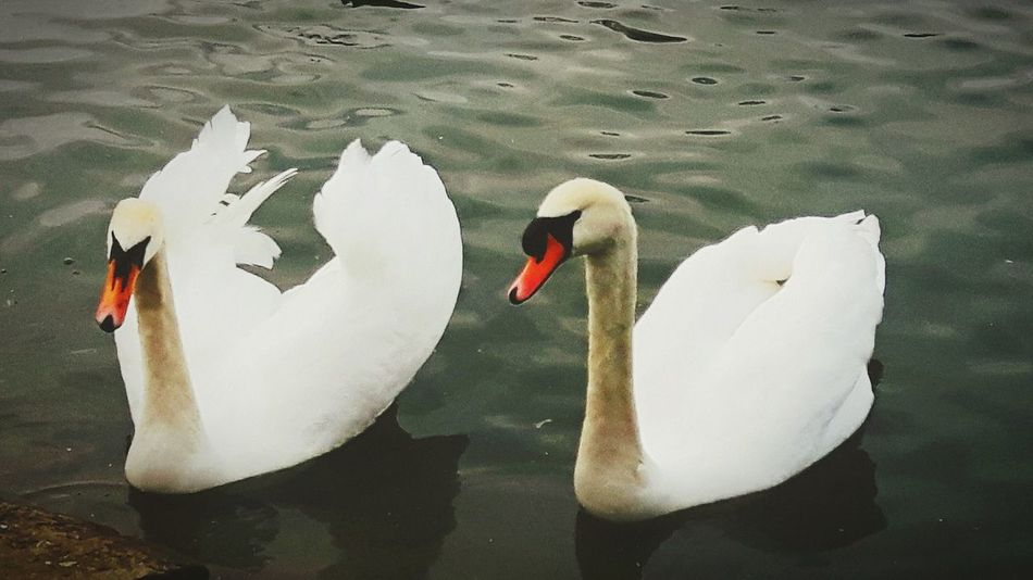 Swans Saltwell Park Nature Beautiful Nature Winters Day Walk Fresh Air... Water