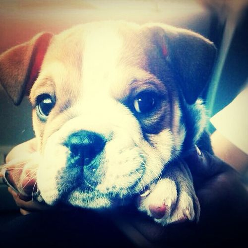 English Bulldog MySmallGift Camila