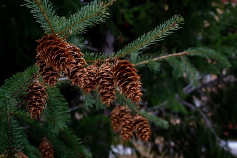 Chile EyeEmNewHere Nature Tree Winter Inverno Pine Cone Pinha