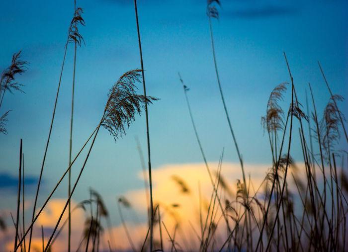 Close-up of stalks against sunset sky