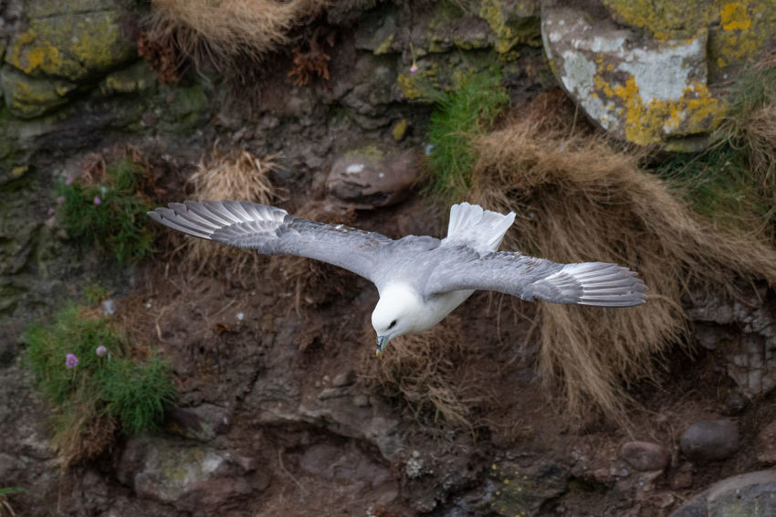 Fulmar light morphs hovering near seabird colonies Fulmar Animal Animal Body Part Animal Themes Animal Wildlife Animals In The Wild Bird Day Flying Fulmarus Glacialis High Angle View Land Nature No People One Animal Outdoors Plant Rock Rock - Object Solid Spread Wings Vertebrate