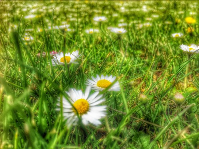 Spring Springtime Spring Flowers Spring Has Arrived Taking Photos Hanging Out IPhone Enjoying Life Outdoors No People Nature Nature Photography Daisy Snapseed Iphone6 IPhone Photography Low Angle View Heavy Postprocessing HDR Hdr Edit