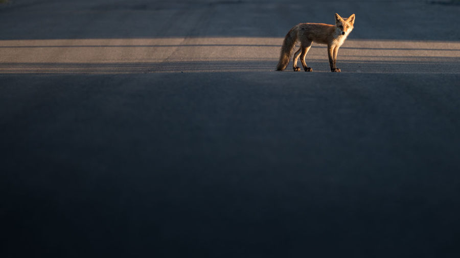 fox on the road ASIA Copy Space Great Outdoors Japan Looking At Camera Nature Wildlife & Nature Animal Behavior Animal Themes Animals Day Fox Light And Shadow Mammal No People One Animal Outdoors Road Shiretoko Wildlife An Eye For Travel The Great Outdoors - 2018 EyeEm Awards