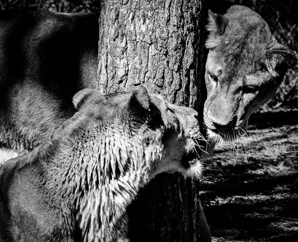 Lions Animal Themes Animals In The Wild No People Outdoors Nature Tree Lions Togetherness Welcome To Black Serengeti-Park, Hodenhagen Blackandwhite Long Goodbye Place Of Heart Pet Portraits