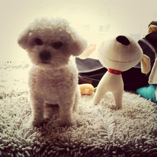 2 Puppys Bichon