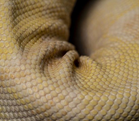 Animal Animal Body Part Animal Eye Animal Head  Animal Leg Animal Scale Animal Skin Animal Themes Animal Wildlife Animals In The Wild Backgrounds Close-up Curled Up Day Full Frame Natural Pattern No People One Animal Pattern Reptile Snake Textile Vertebrate