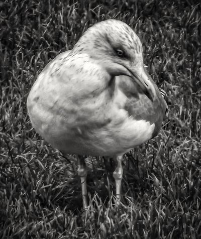 This is a Whitby Seagull One Animal Bird Close-up Standing Animals In The Wild Nature Beauty In Nature No People Close Up Photography Extreme Close-up Nature And Wildlife By Tony Bayliss Fujifilm EyeEm Best Shots - HDR Malephotographerofthemonth Hdr_captures Close Up Nature Bird Of Prey Wildlife Photography Eyeemphoto Eyeem Photography Close Up EyeEm Masterclass Black & White Portrait Black And White Photography Black & White Photography
