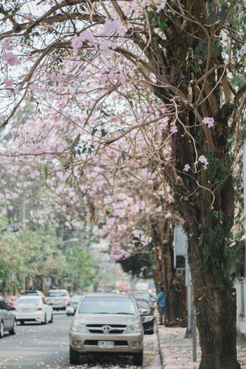 Sakura Thailand Sakura 2017 Sakura Flower Sakura Trees Architecture Blossom Building Exterior Built Structure Car Cherry Blossom Cherry Tree City Day Flower Flowering Plant Growth Incidental People Land Vehicle Mode Of Transportation Motor Vehicle Nature Outdoors Plant Road Sakura Bloom Sakura Blossom Sakura Card Captor Sakura Season Sakura Thailand Springtime Street Transportation Tree Treelined