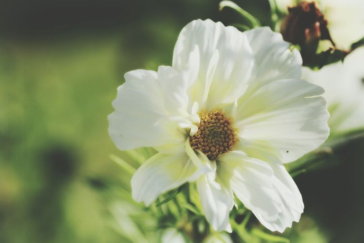 Close-up of white cosmos blooming outdoors