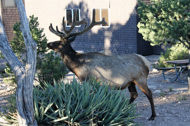 Grand Canyon Animal Themes Architecture Building Exterior City Day Grass Mammal Moose Nature No People One Animal Outdoors Plant Standing Tree