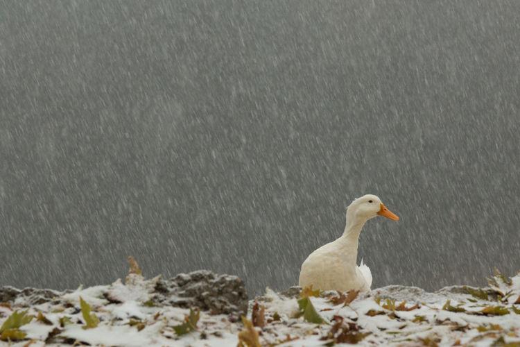 Close-up of swan perching on lake