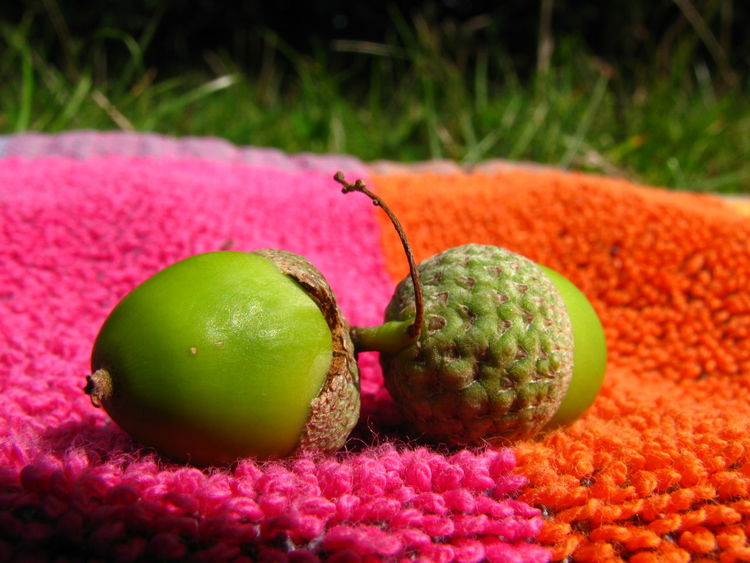 Acorn Acorns Close-up Flower Freshness Fruit Fruitful Green Color Growing Growth Juicy Nut Nuts Organic Precocious Premature Ripe Still Growing Still Life Summer Unripe Vibrant Color Young