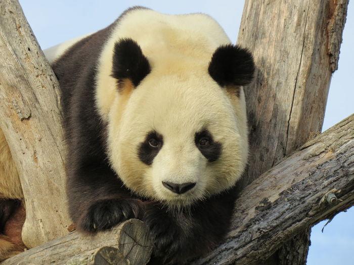 Low angle portrait of panda on wood