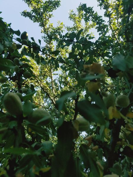 Reaching for sunshine Nature Tree Growth Outdoors No People Day Freshness Beauty In Nature Low Angle View Sky Close-up Fruit Tree Freshness Growth Beauty In Nature Green Color Branch Tree Area Food And Drink Nature Food Forest Low Angle View High Angle View