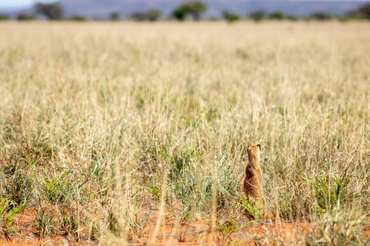 View of grey mongoose on field